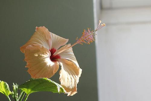 Hibiscus non rustiques: conseils de culture et floraisons 10926283.8d1fc739.500
