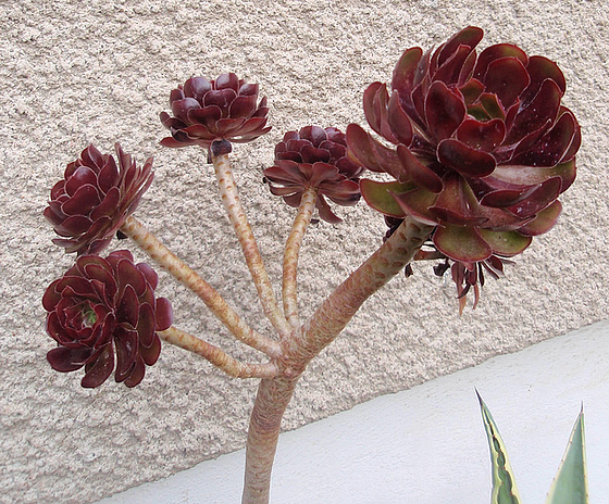 Aeonium arboreum 'Atropurpureum' 11166436.9b73ac4c.560