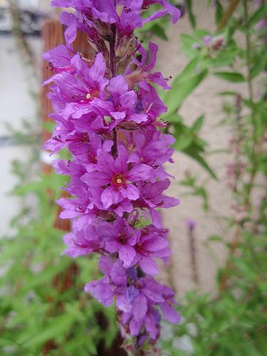 lythrum salicaria P8072628