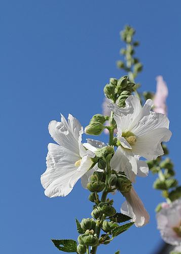 Alcea rosea - rose trémière 10996666.37cea2b5.500