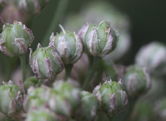Allium ampeloprasum (fruit) - ail carambole [devinette] 10997318.c510310f.560