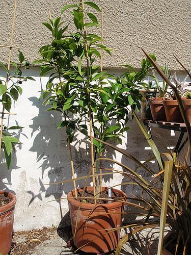 oranger sanguinelli P6262232