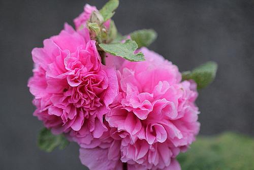 Alcea rosea - rose trémière 11077934.4e39475a.500