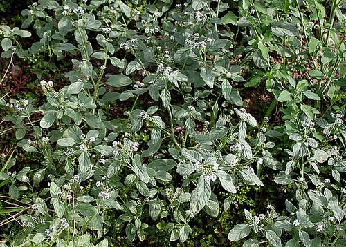 Héliotropium europaeum