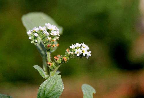 Héliotropium europaeum 3