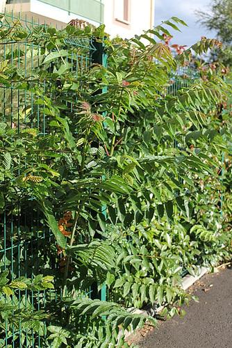 Ailanthus altissima - ailante 11078047.269683c7.500
