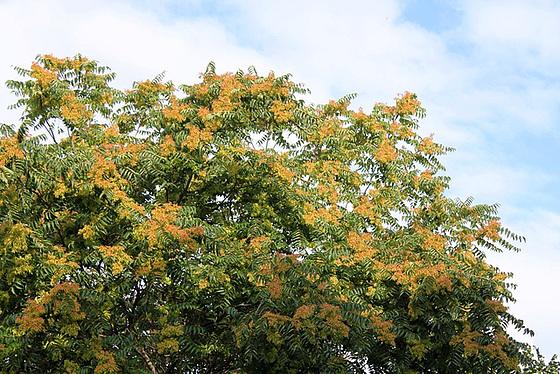 Ailanthus altissima - ailante 11078048.b85290c5.560