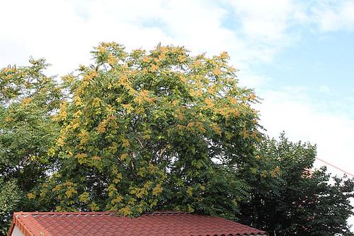Ailanthus altissima - ailante 11078049.4259af81.500