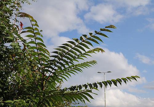 Ailanthus altissima - ailante 11078050.1747a26d.500
