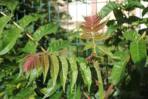 Ailanthus altissima - ailante 11078051.fabc8297.500