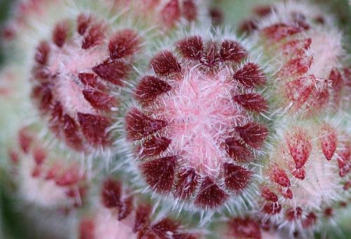 Sempervivum, Nicandra physaloides, bryone dioïque [devinette] 11078836.d3abf6d2.500