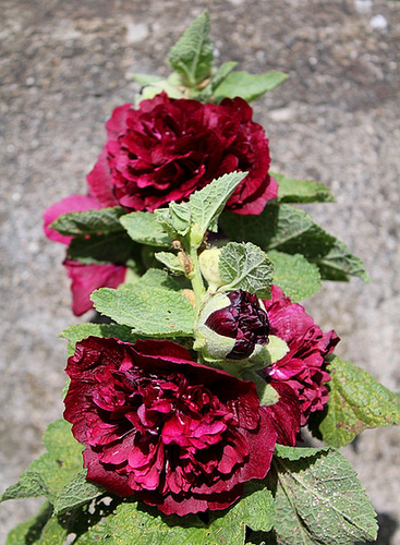Alcea rosea - rose trémière 11049458.5195554f.500