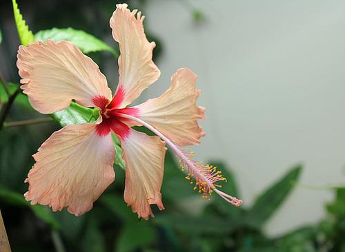 Hibiscus non rustiques: conseils de culture et floraisons 11089659.c9d3ad94.500