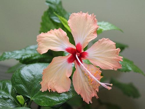 Hibiscus non rustiques: conseils de culture et floraisons 11089661.534a5664.500