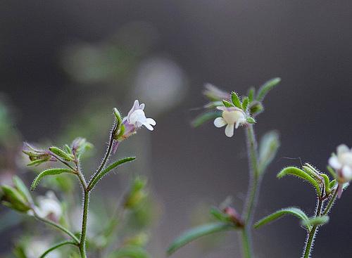 Petite Linaire-Chaenorhinum minus (2)
