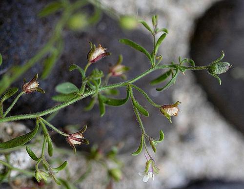 Petite Linaire-Chaenorhinum minus (4)