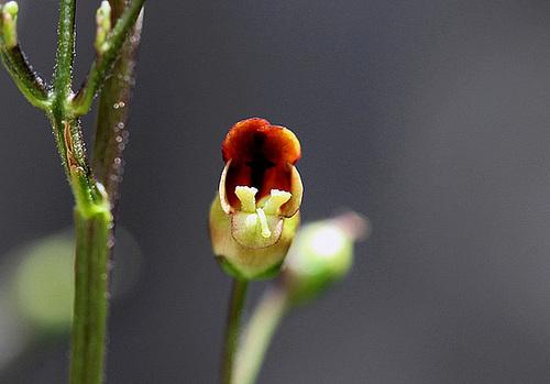 Scrophularia nodosa (3)