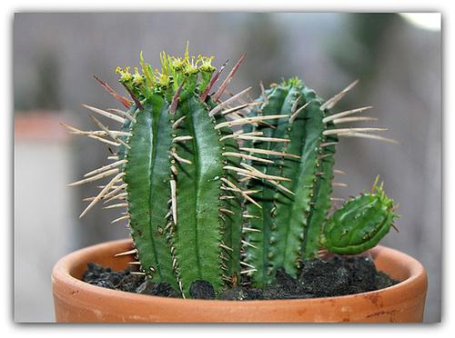 Euphorbia aggregata en fleurs