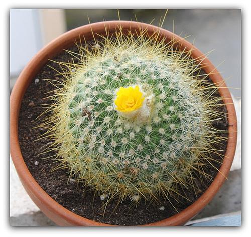 Parodia chrysancanthion
