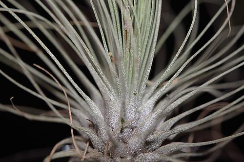 Tillandsia argentea 4