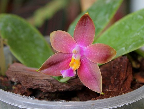 Phalaenopsis bellina x venosa