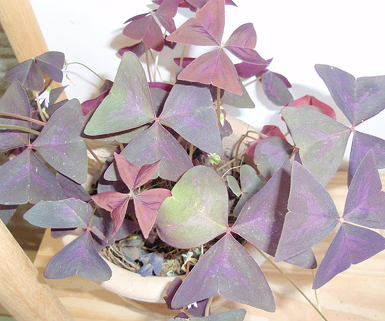 oxalis triangularis PA233760-1