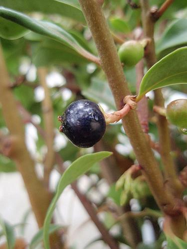Sarcococca hookeriana 'Dygyna' P9113279