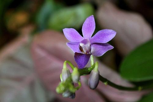 Doritaenopsis 'Purple Gem' f. caerulea  11611351.8b820112.500