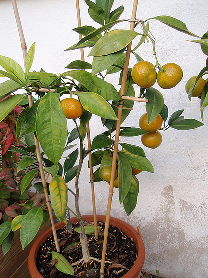 mandarine satsuma PB183840
