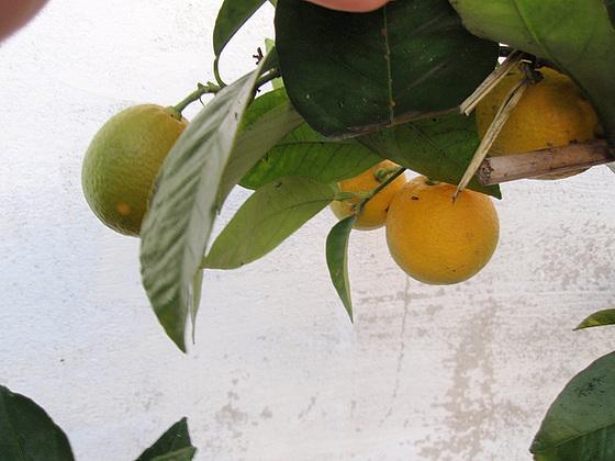 orange sanguinelli PB183843