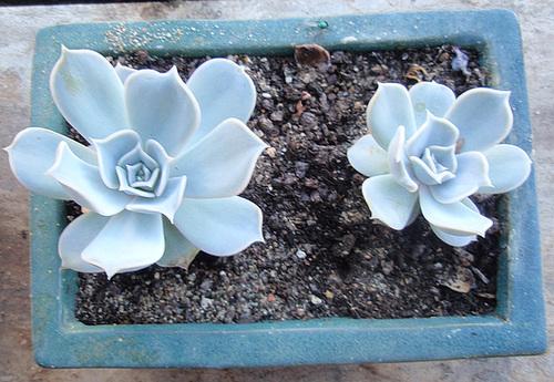 Echeveria lilacina P9113283-2