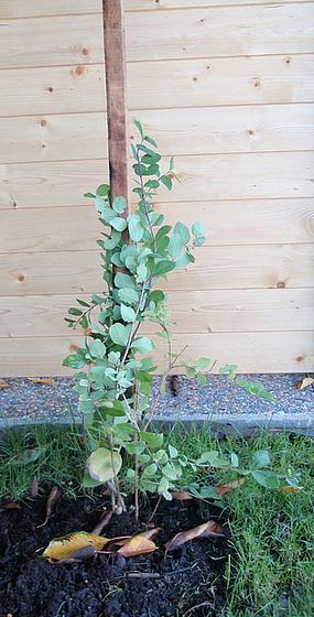 lonicéra fragantissima P9113296-2