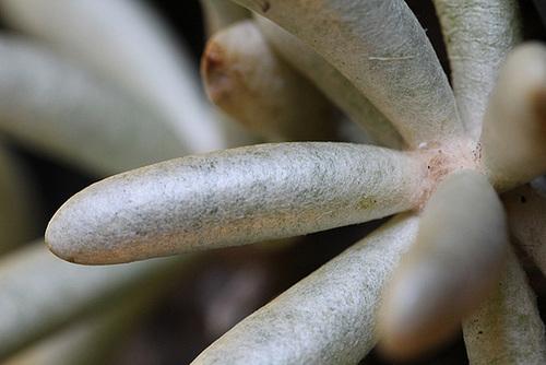 Senecio scaposus sp scaposus (4)