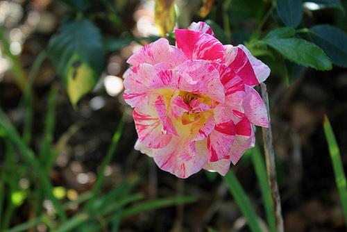 Rose Pissaro