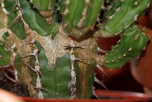 Euphorbia officinarum subsp. echinus (= Euphorbia echinus) 11852202.ca94dcf6.500