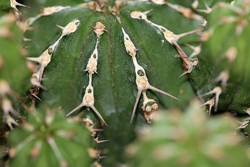 Euphorbia officinarum subsp. echinus (= Euphorbia echinus) 11852204.0b8b9255.500
