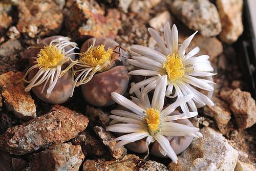 Lithops karasmontana v. lericheana C267