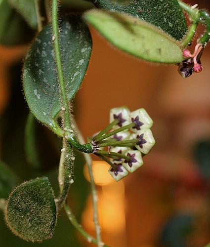 Hoya thomsonii (2)