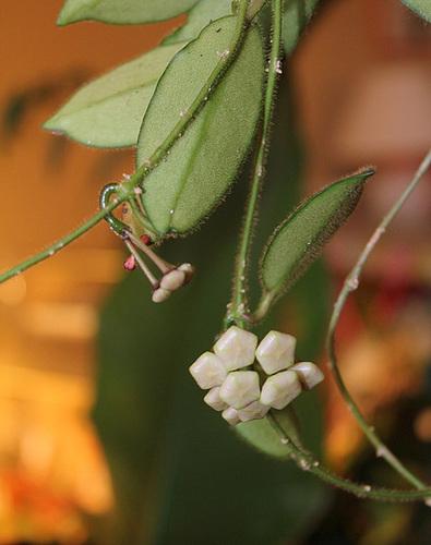 Hoya thomsonii