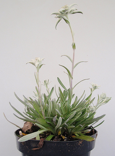 Leontopodium alpinum 'Matterhorn' P9243481-2