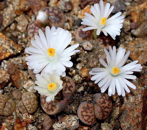 Lithops karasmontana ssp bella (3)