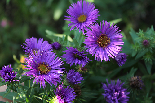Aster novae-angliae Purple Dôme 2