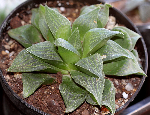 Haworthia magnifica ssp magnifica