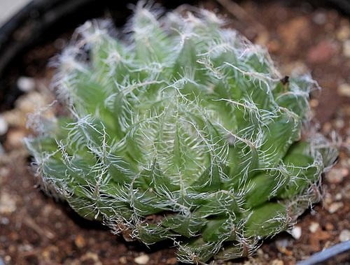 Haworthia bolusii v. blackbeardiana hill sp cathcart (2)