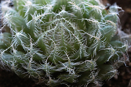 Haworthia bolusii v. blackbeardiana hill sp cathcart 4 bis