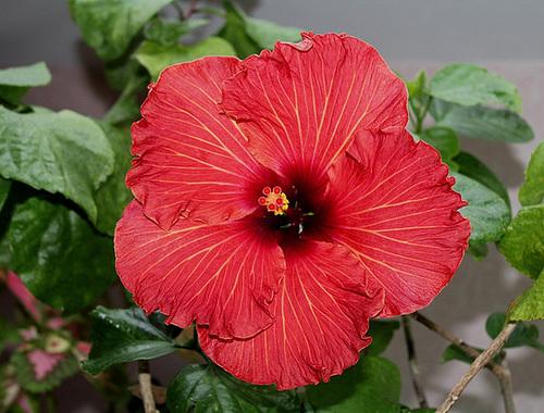 Hibiscus : conseils de culture et floraisons - Page 2 11836388.5ead519f.500