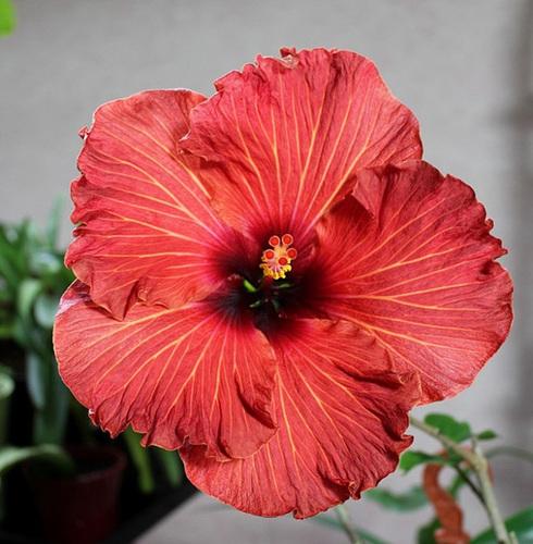 Hibiscus : conseils de culture et floraisons - Page 2 11836389.6d3a2463.500