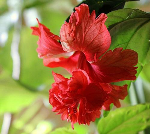 Hibiscus El Capitolio rouge 5