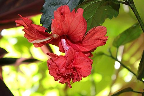 Hibiscus El Capitolio rouge