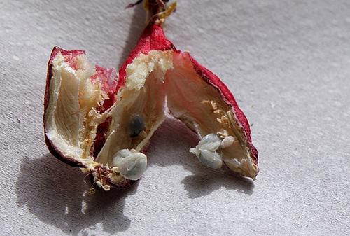 passiflores : fructifications 11457960.edeb015e.500